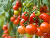 Grow your own organic tomatoes